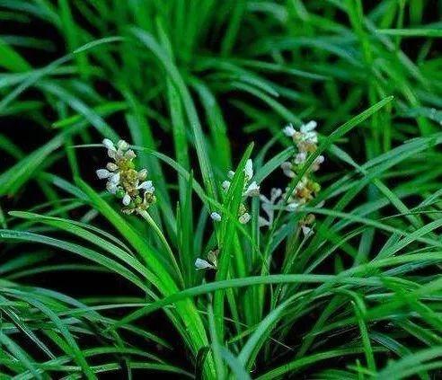 文雅高洁的书带草,其命名与东汉郑玄有关