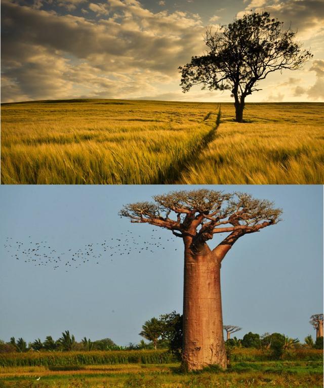 说到非洲,除了猴面包,还有哪些珍奇药用植物?