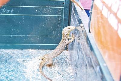 郑州一物流园发现孟加拉巨蜥 或钻nbaqq空间免费代码轮胎里来到中国_社会